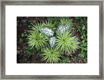 Pulmonaria 'sissinghurst White' Foliage Framed Print by Archie Young