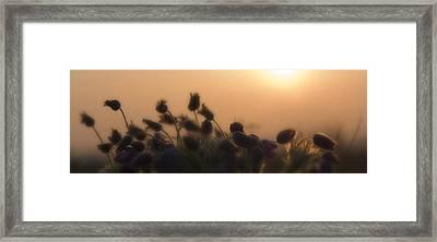 Pulsatilla 3 Framed Print by Octavian Chende