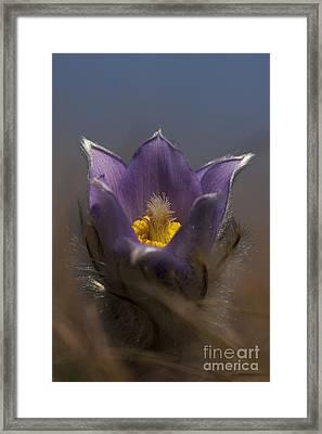 Pulsatilla Framed Print