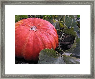 Pumpkin Harvest 1 Framed Print
