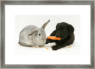 Pup Steals Rabbits Carrot Framed Print by Jane Burton