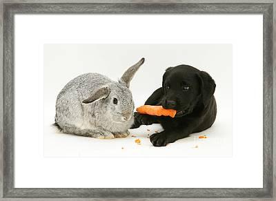 Pup Steals Rabbits Carrot Framed Print
