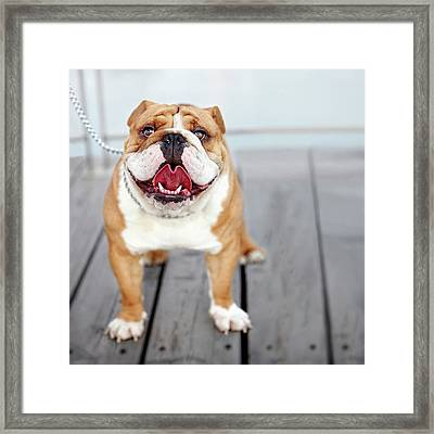 Puppy Dog Breed English Bulldog Framed Print