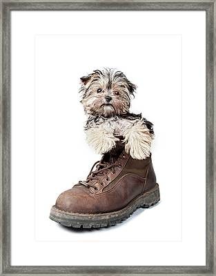 Puppy In A Boot Framed Print by Chad Latta