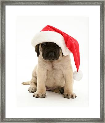 Puppy In A Santa Hat Framed Print by Jane Burton