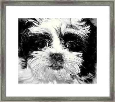 Puppy Love Framed Print by Antonia Citrino