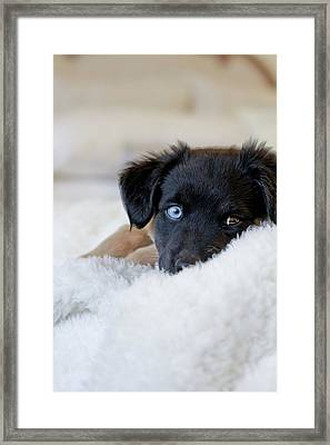 Puppy Lying On Soft Blanket Framed Print by Angela Auclair