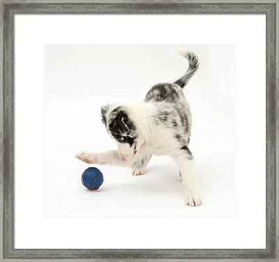 Puppy Playing With A Ball Framed Print by Mark Taylor