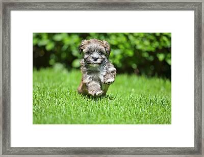 Puppy Running On Grass Framed Print by @Hans Surfer