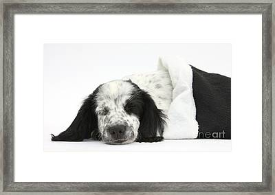 Puppy Sleeping In Christmas Hat Framed Print by Mark Taylor