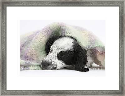 Puppy Sleeping Under Scarf Framed Print by Mark Taylor