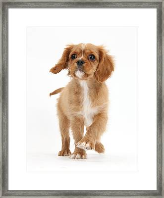 Puppy Trotting Foward Framed Print by Mark Taylor