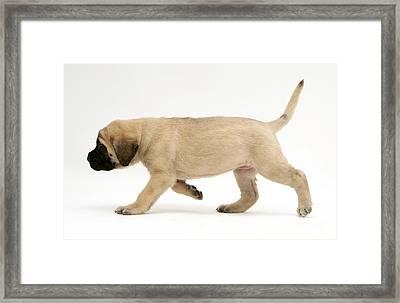 Puppy Trotting Framed Print