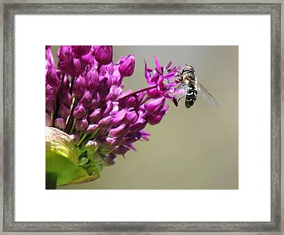 Purple Allium Flower With Hoverfly Framed Print by Eva Kondzialkiewicz