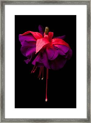 Purple And Pink Beauty Framed Print