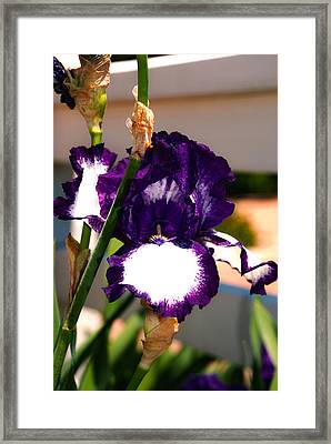 Purple And White Iris Framed Print by Kelly Rader