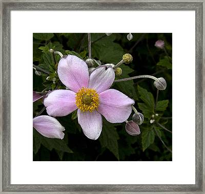 Framed Print featuring the photograph Purple Anemone II by Michael Friedman