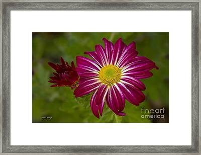 Purple Aster Flower Close Up Framed Print by James BO  Insogna