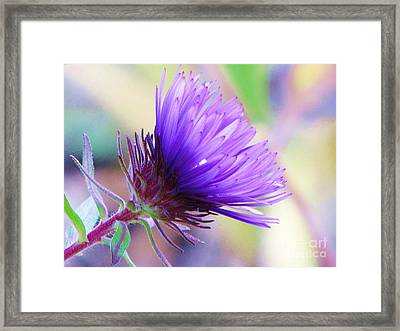 Framed Print featuring the photograph Purple Aster  by Michele Penner
