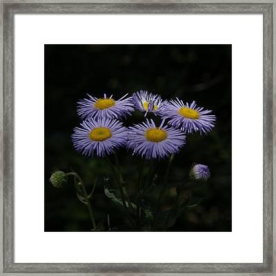 Purple Asters Framed Print by Ernie Echols
