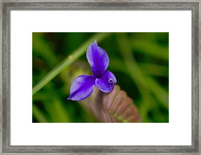 Purple Bromeliad Flower Framed Print by Douglas Barnard