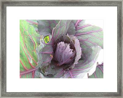 Purple Cabbage  Framed Print