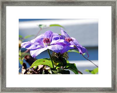 Framed Print featuring the photograph Purple Clematis by Linda Cox