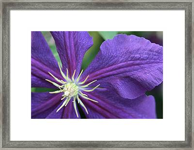 Purple Clematis Framed Print