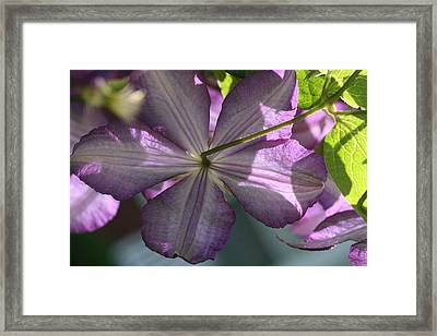 Framed Print featuring the photograph Purple Clematis Rear by Peg Toliver