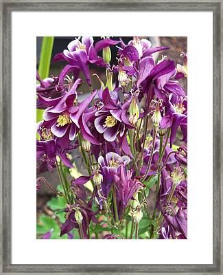 Purple Columbine Framed Print