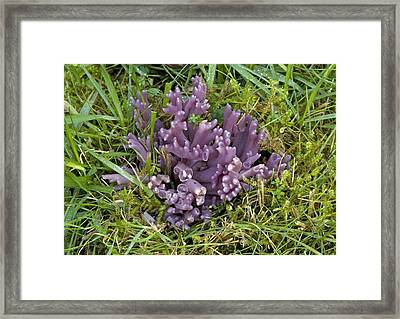 Purple Coral Fungus Framed Print