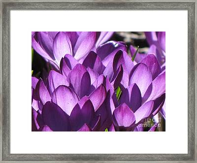 Framed Print featuring the photograph Purple Crocus by Michele Penner