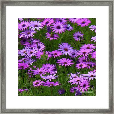 Purple Daisies Square Framed Print by Carol Groenen