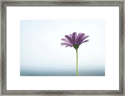 Purple Daisy Against Sea & Sky Blurred Background Framed Print