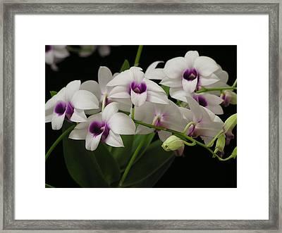 Purple Dendrobium Stem Framed Print by Andrea Drake