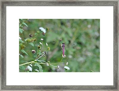 Framed Print featuring the photograph Purple Dragon Fly by Jodi Terracina