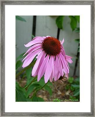 Purple Echinacea Framed Print by Lingfai Leung