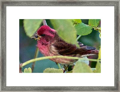 Purple Finch 3 Framed Print