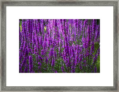 Purple Flowers Framed Print by Michel DesRoches