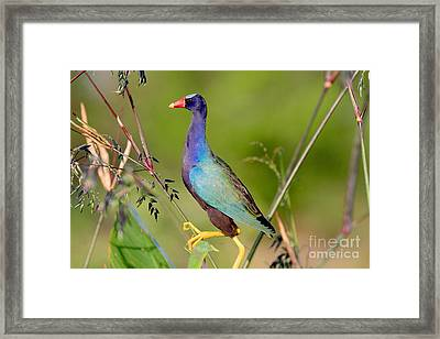 Purple Gallinule Framed Print by Jennifer Zelik