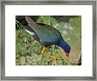 Framed Print featuring the photograph Purple Gallinule by Larry Nieland