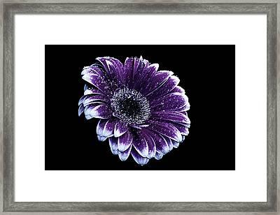 Purple Gerbera  Framed Print by Fiona Messenger