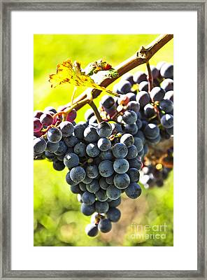 Purple Grapes Framed Print by Elena Elisseeva