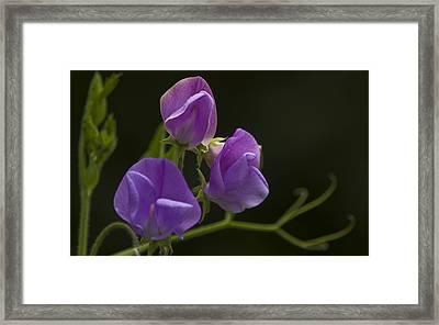 Purple Heaven Framed Print by Rob Hemphill