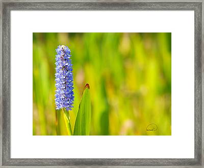 Purple Hyacinth Framed Print