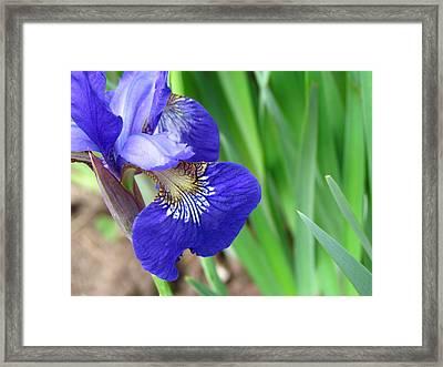 Purple Iris Framed Print by Christine Hafeman