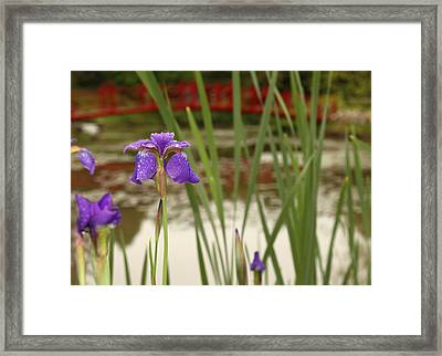 Purple Iris Framed Print by Coby Cooper