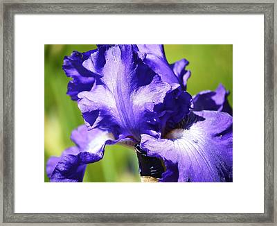 Purple Iris Framed Print by Mary Zeman