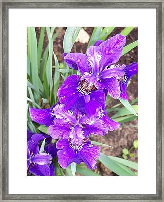 Purple Iris With Water Droplet Framed Print