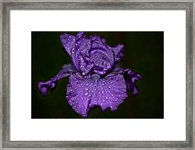 Purple Iris With Water Drops Framed Print